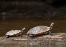 Große Schildkröte und kleine Schildkröte Lizenzfreies Stockbild