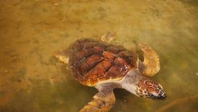 Große Schildkröten, die in einem Pool an einem Schildkrötenbrutplatz in Sri Lanka schwimmen stock video