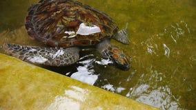 Große Schildkrötenschwimmen in einem Pool an einem Schildkrötenbrutplatz in Sri Lanka stock video