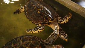 Große Schildkrötenschwimmen in einem Pool an einem Schildkrötenbrutplatz in Sri Lanka stock footage