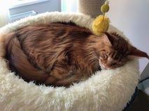 Große Schlafenkatze Lizenzfreies Stockfoto