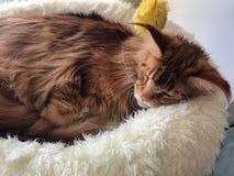 Große Schlafenkatze Lizenzfreie Stockfotografie
