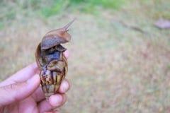 Große Schnecke in der Hand auf Naturhintergrund, Achatina-Schnecke Lizenzfreies Stockfoto