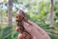 Große Schnecke in der Hand auf Naturhintergrund, Achatina-Schnecke Stockbild