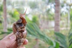 Große Schnecke in der Hand auf Naturhintergrund, Achatina-Schnecke am tha Lizenzfreie Stockfotografie