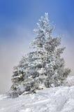 Große schneiende Tanne Stockfotos