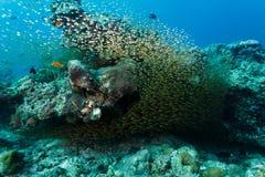Große Schule von kleinen silbernen Glasfischen auf Korallenriff Lizenzfreie Stockfotografie