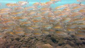 Große Schule von Makrelen-Fischen Unterwasser-Bali stock footage