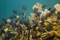 Große Schule von Paletten-Doktorfisch-Fischen Lizenzfreie Stockbilder