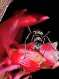 Große schwarze Ameise auf roter Blume Stockfotografie