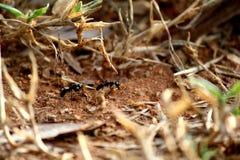 Große schwarze Ameisen, die Babyameisen tragen, um Bestimmungsort zu ändern lizenzfreies stockbild