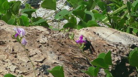 Große schwarze Biene auf rosa Blume stock video