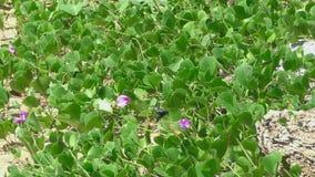 Große schwarze Biene auf rosa Blume stock footage