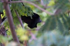 Große schwarze Brüllaffe in seinem Regenwaldlebensraum stockfotos