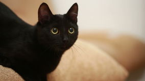 Große schwarze Katze, die auf Bett legt stock footage