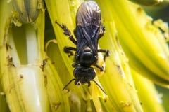 Große schwarze Wespe auf Blumen Lizenzfreie Stockbilder