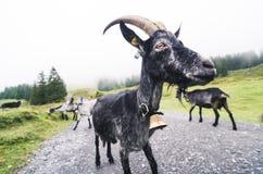Große schwarze Ziege, lustiges fisheye schoss stockfotos