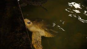 Große Schwimmen der weichschaligen Schildkröte in einem Pool an einem Schildkrötenbrutplatz in Sri Lanka stock video