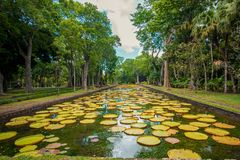 Große Seerosen botanischer Garten Pamplemousses, Mauritius stockfotografie
