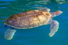 Große Seeschildkröteschwimmen im karibischen Wasser Stockfoto