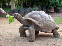 Große Seychellen-Schildkröte essen. La Vanille Vorbehaltpark Stockfotografie