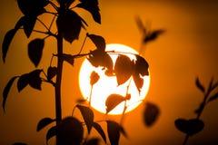 Große Sonne durch Baumbrunchs Stockfotos