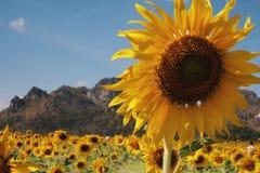 Große Sonnenblume Lizenzfreie Stockfotos
