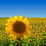 Große Sonnenblume auf Sonnenblumenfeld Stockfotografie