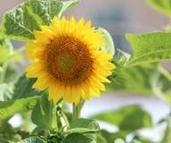 Große Sonnenblume blühte lizenzfreies stockfoto