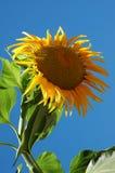 Große Sonnenblume II Stockbild