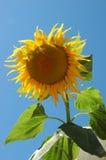 Große Sonnenblume III Lizenzfreie Stockbilder