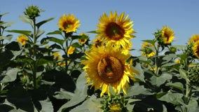 Große Sonnenblume mit einer Biene auf ihr stock video