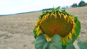 Große Sonnenblumennahaufnahme Lizenzfreie Stockfotos