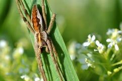 Große Spinne auf Blatt Stockbilder