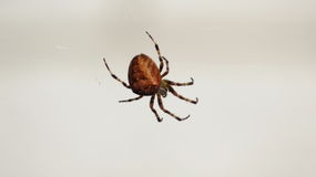 Große Spinne im Netz vor weißer Wand Stockbild