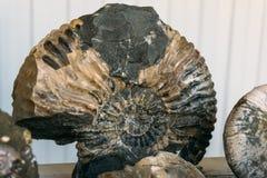 Große Spirale des versteinerten Oberteils der Ammoniten - ausgestorbene Unterklasse von Kopffüßermollusken stockbild