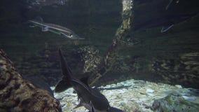 Große Störfische schwimmen im Aquariumvorrat-Gesamtlängenvideo stock video