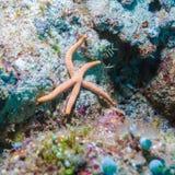 Große Starfish auf dem Meeresgrund, Malediven Stockfotografie
