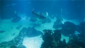 Große Stechrochennahaufnahme Eine Vielzahl von tropischen Fischen über einem Korallenriff stock footage
