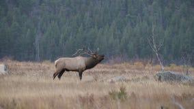 Große Stier-Elche, die sie hinzuziehen stock footage