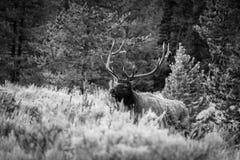 Große Stier-Elchstellung in einem Schwarzweiss-Foto lizenzfreies stockfoto