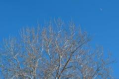 Große Suppengrünkrone mit Niederlassungen und keinen Blättern gegen klaren blauen Himmel - Frühlingszeit Stockfotografie