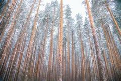 Große Tannenbäume in einem Winterwald Stockbild