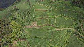 Große Tee-Plantage in Alishan-Bereich, Taiwan Schattenbild des kauernden Gesch?ftsmannes stock footage