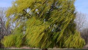 Große Trauerweidebaum-Windnahaufnahme stock video