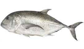 Große Trevally-Fische Stockbilder