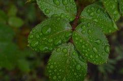 Große Tropfen des Regens auf den Blättern der Rose des Sommers lizenzfreie stockfotografie