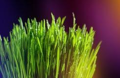 Große Tropfen des Taus auf grünem Gras Bunter Hintergrund Reife Samen des Granatapfels Stockfoto