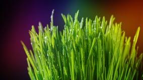 Große Tropfen des Taus auf grünem Gras Bunter Hintergrund Reife Samen des Granatapfels Lizenzfreies Stockfoto