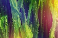 Große Tropfen des Taus auf grünem Gras Bunter Hintergrund Reife Samen des Granatapfels Stockbild
